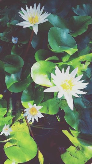 Flower Leaf Nature Plant Petal Water Freshness Flower Head Beauty In Nature Fragility Green Color Growth No People Lily Pad Close-up Outdoors Day Floating On Water BrooklynBotanicGarden NYC Photography