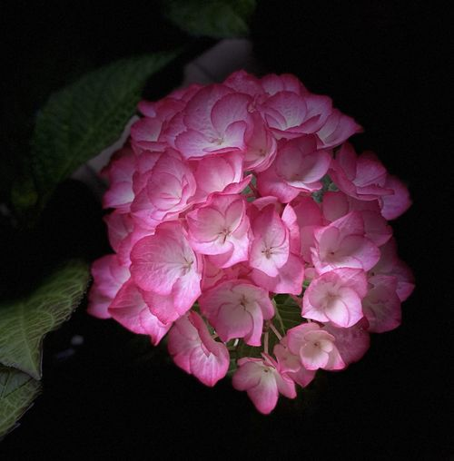Close-up of pink roses against black background