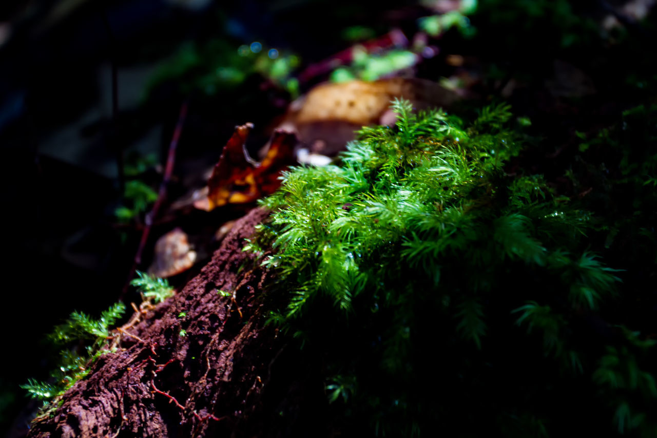 growth, nature, green color, tree, no people, selective focus, beauty in nature, moss, plant, focus on foreground, close-up, tree trunk, outdoors, freshness, toadstool, day, mushroom, fungus, fragility, fly agaric
