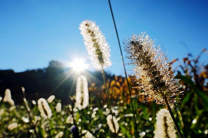 Growth Sunlight Nature Plant Sunbeam Sun Cereal Plant Rural Scene Outdoors Agriculture Field Sunset Beauty In Nature No People Flower Close-up Day Tree Sky Freshness Grass Green Fields