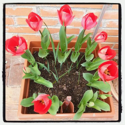 Ya han florecido los tulipanes Nature Tulips Nature_collection Tulipanes