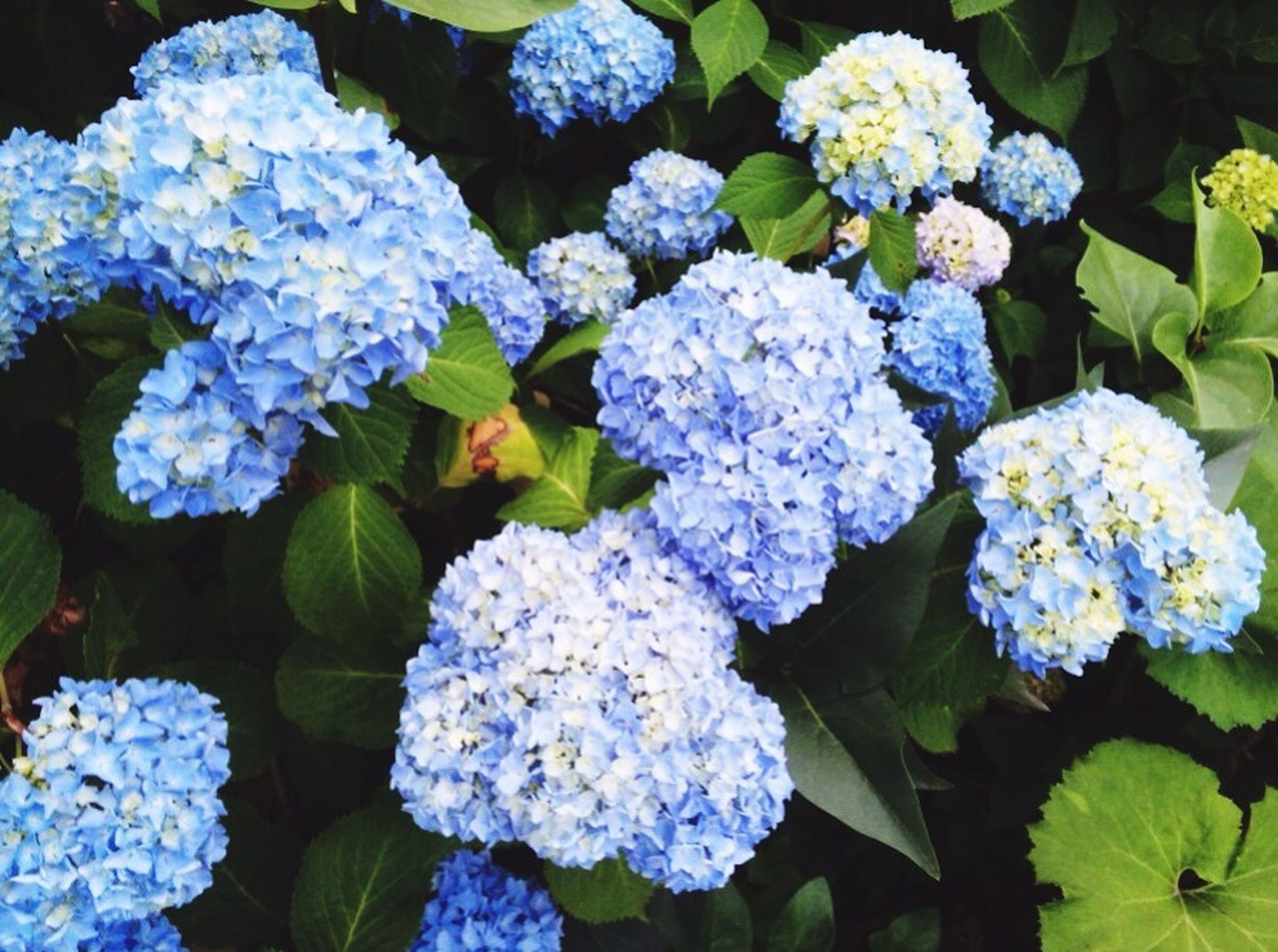 flower, freshness, fragility, petal, beauty in nature, growth, hydrangea, flower head, plant, purple, high angle view, nature, blooming, leaf, bunch of flowers, white color, green color, in bloom, close-up, park - man made space