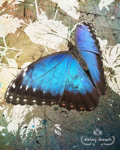 Morpho Peleides Morpho Peleides Butterfly Insect Insect Photography Nature Nature Photography Naturelovers Photographyart Art Blue I LOVE BLUE ♡ Colors