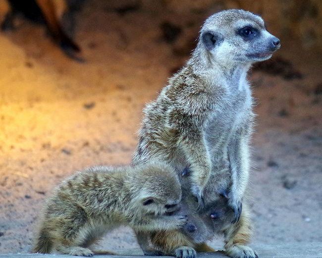 Animals Drink Erdmännchen Meercats Saugen Sucker Tiere Trinken Zoologie Zoology