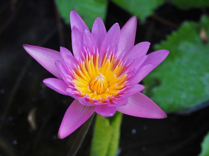 Pink lotus flower Nature Pink Close Up Top View Botany Blossom Lotus Garden Plant Flower Head Water Pink Color Petal Close-up Plant Pollen Water Lily
