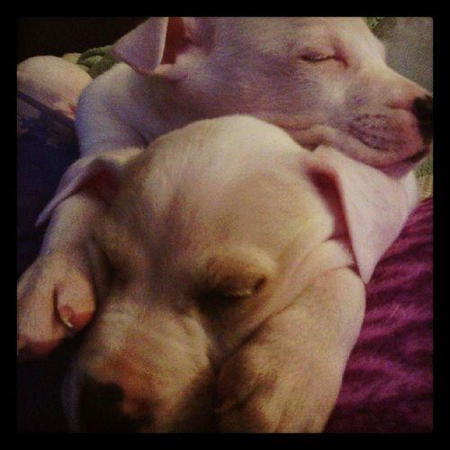Americanbulldogofinstagram Ambull Americanbulldogpuppies Puppies Sleepyheads Sleepingbeauties Dogsofinstagram Theeasylife Cute Adorable