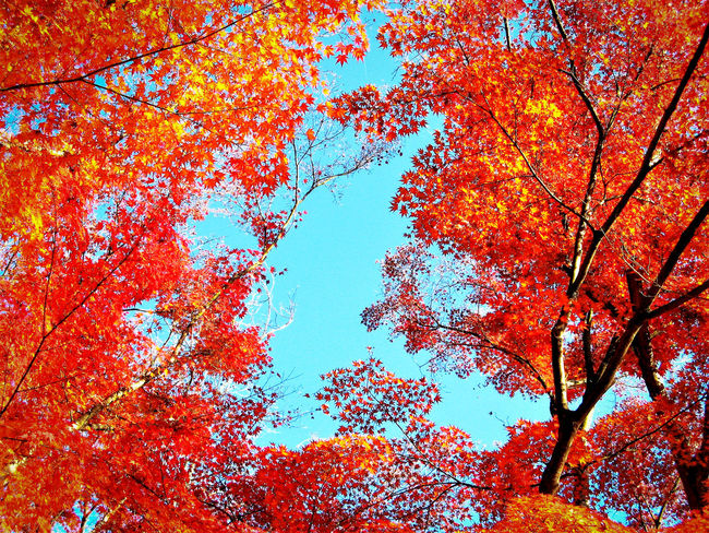Autumn Beauty In Nature Branch Change Clear Sky Close-up Day Growth Leaf Low Angle View Maple Maple Leaf Maple Leaves Maple Tree Nature No People Orange Color Outdoors Red Color Sky Tree