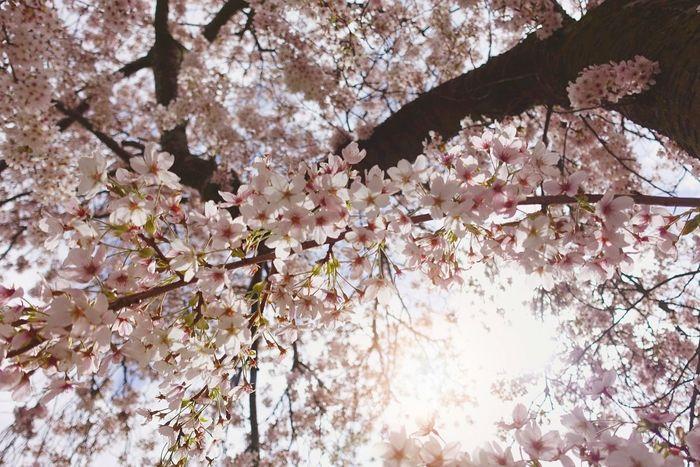 EyeEm Nature Lover Sunshine Photography Nature Photography Cherryblossom Sakura EyeEm Best Shots