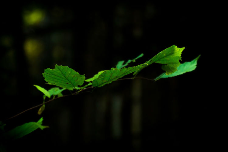 Close-up of fresh green plant against black background