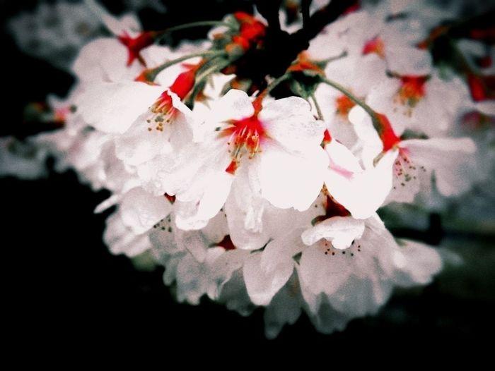 Slice Of Life Flowers Taking Photos Japan Pinkblackwhite