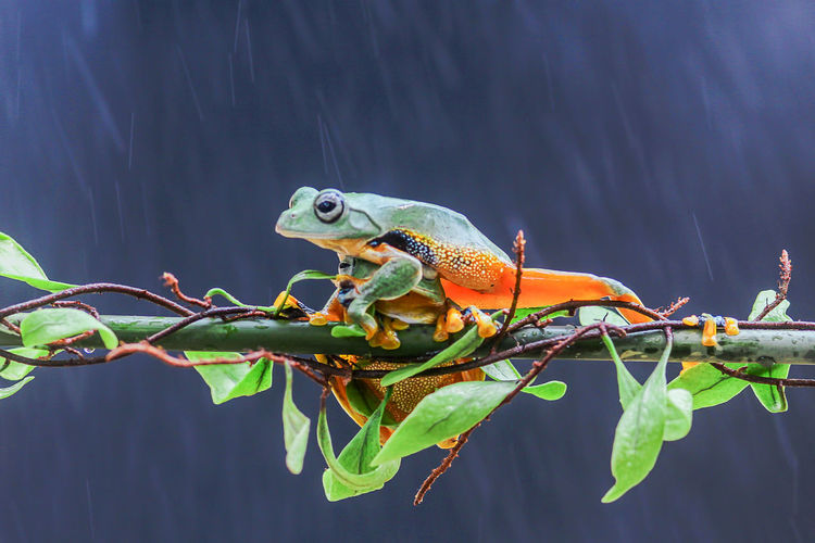 Tree frogs, tree frogs on the leaves