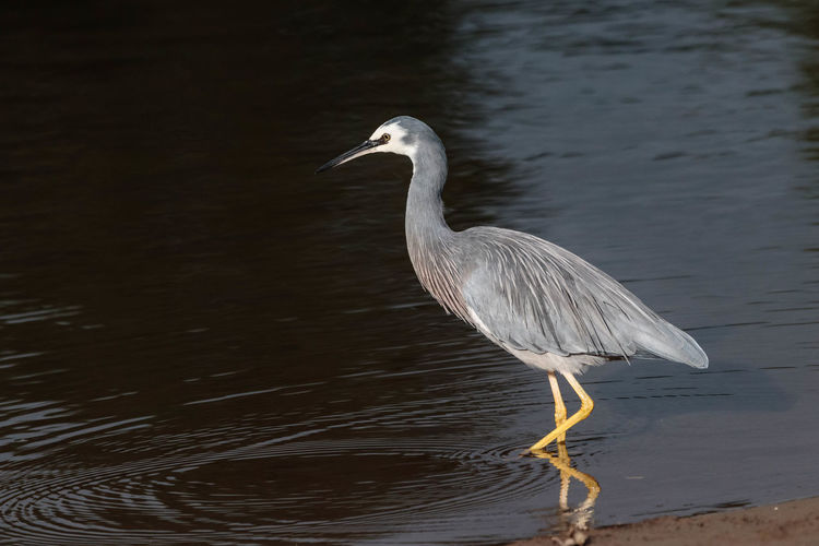 The white-faced heron is New Zealand's most common heron, despite being a relatively new arrival to this country. It is a tall, elegant, blue-grey bird that can be seen stalking its prey in almost any aquatic habitat, including damp pasture and playing fields. Because it occupies space also shared with people it is usually well habituated to their presence, and may allow close approach. http://nzbirdsonline.org.nz/species/white-faced-heron Animal Wildlife Bird Heron Beauty In Nature White Color Nature Water Bird Tidal Wetlands EyeEm Nature Lover EyeEm