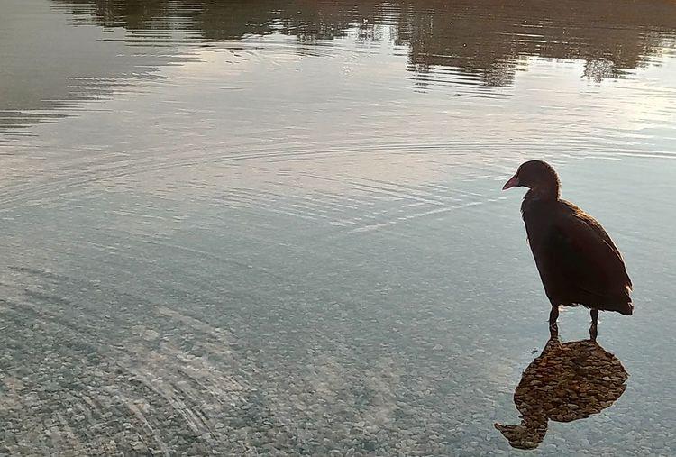 folaga Bird