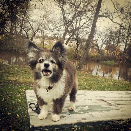 När man inte förstår vitsen med att behöva stå på ett bord 2 Min Hund I Love My Dog My Dogs Are Cooler Than Your Kids Lundehund/papillon