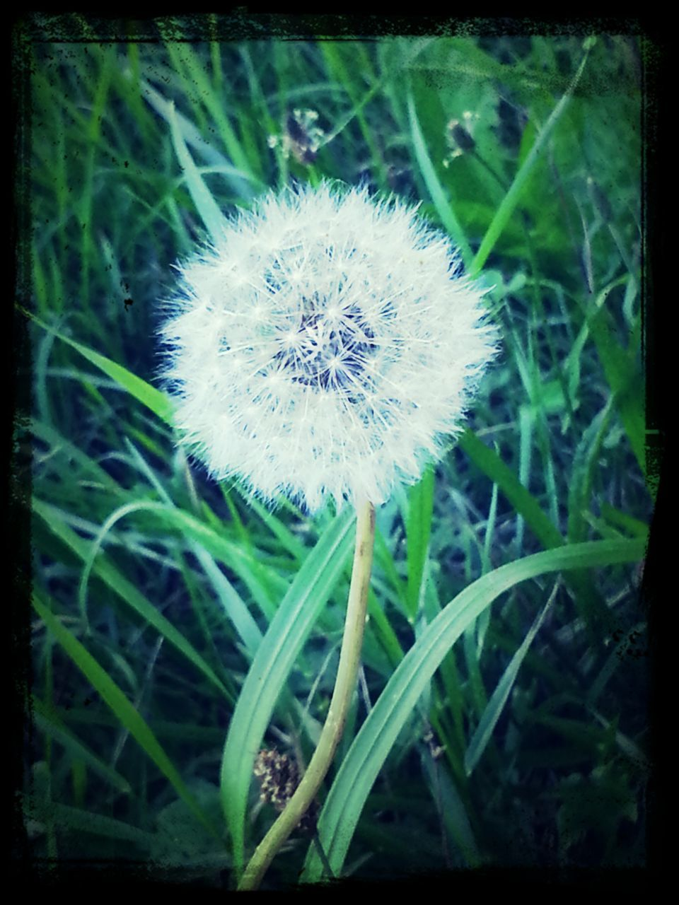 Close-Up Of Dandelion Blooming On Field