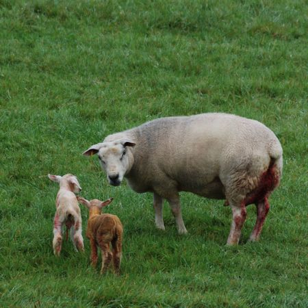 Twins just born Grass Animal Themes Domestic Animals Mammal Livestock Field Young Animal Nature No People Green Color Sheep Outdoors Birth Lambing Lamb Day Northleigh Colyton Devon