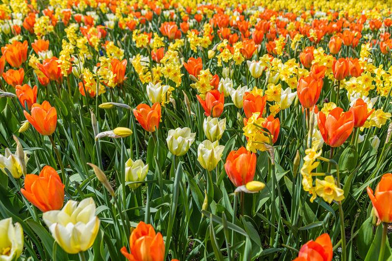 Full frame shot of tulips in field