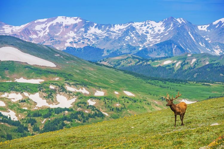 Lonely Elk on the Alpine Meadow in Colorado, United States. Colorado Rocky Mountains Wilderness. Colorado Estes Park Rocky Mountain National Park USA Animal Animal Themes Animal Wildlife Beauty In Nature Day Deer Domestic Animals Environment Field Herbivorous Land Landscape Mammal Mountain Mountain Range Nature No People Non-urban Scene One Animal Outdoors Scenics - Nature Snowcapped Mountain Tranquil Scene
