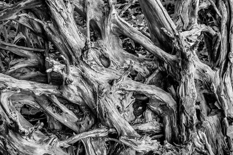 Tree root photographed at Ickworth Park, Suffolk, UK. Tree Roots  Tree Root Collection Plant Root Plant Part Nature Tree Textured  Detail Tangled Complexity Black And White Black And White Collection  Black And White Texture