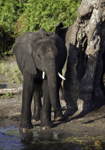 Elephant Animal Wildlife Animals In The Wild Animal Themes Tree Outdoors African Elephant Beauty In Nature Africa Colour