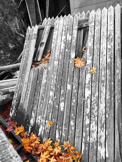 """""""Nature's Palette"""" Fallen Autumn leaves claim a collapsed fence in front of an abandoned old house along Sir Francis Drake Blvd. in Marin County, California. Autumn Leaves Autumn🍁🍁🍁 Fence Collapsed Fences OldFence Old Buildings Abandoned Buildings Marin County CA Blackandwhite Black & White Blackandwhite Photography Selective Color"""