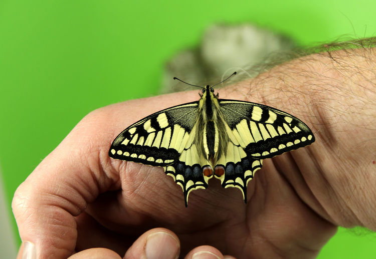 Butterfly Finger Unrecognizable Person Real People Beauty In Nature Green Color Body Part One Person Close-up Animals In The Wild Human Hand Hand Animal Animal Wildlife One Animal Human Body Part Animal Themes Invertebrate Insect Butterfly - Insect Butterflies Schmetterling Schwalbenschwanz (Papilio Machaon) Schwalbenschwanz Schmetterling