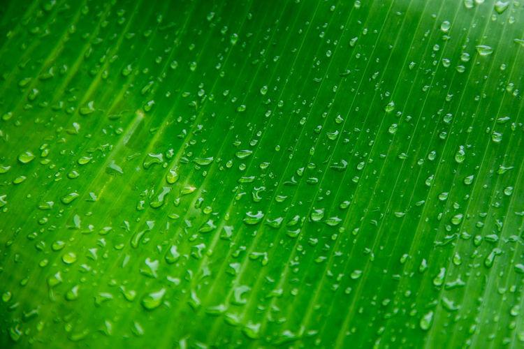 Full Frame Shot Of Wet Banana Leaf During Monsoon