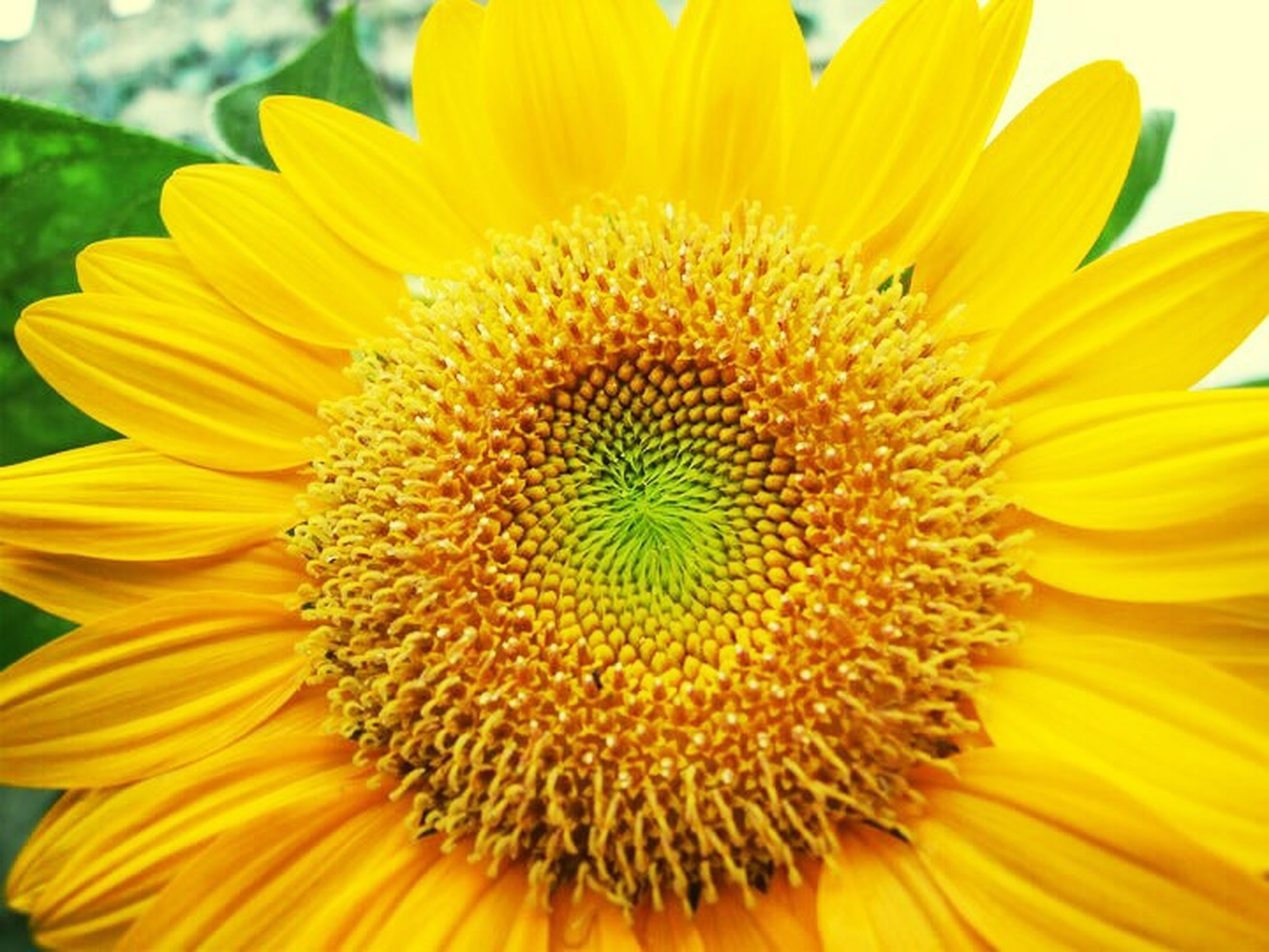 flower, petal, yellow, freshness, flower head, fragility, growth, beauty in nature, close-up, pollen, sunflower, blooming, nature, single flower, focus on foreground, plant, in bloom, outdoors, no people, day