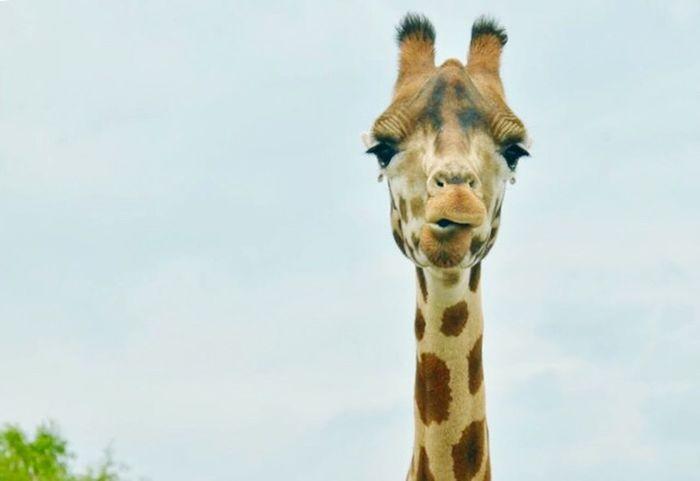 Beekse Bergen Giraffe One Animal Mammal Animal Animal Themes Animal Wildlife Looking At Camera