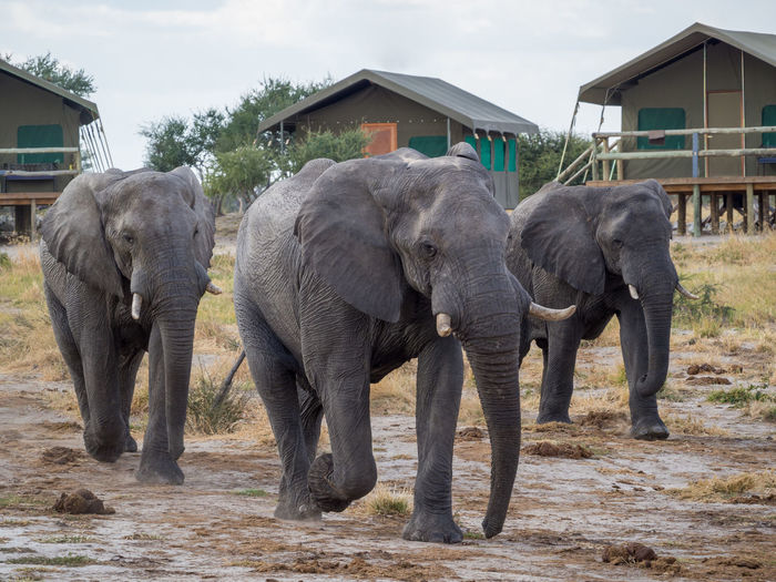 Group Of African Elephant Walking In Safari Camp In Botswana, Africa