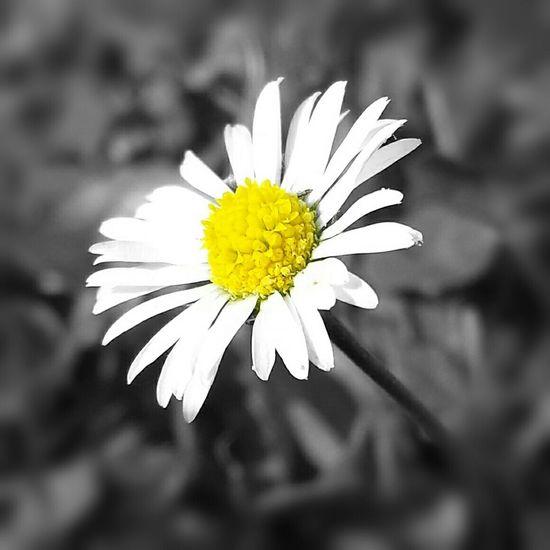 Daisy Daisy ♥ Wild Flowers Flower Collection Floral Nature Photography Floralphotography Floralperfection Flowerlove Eyeemflowerlover Photoart