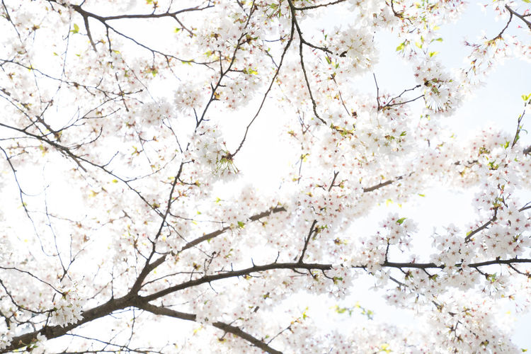 Tree Plant Branch Low Angle View Growth Beauty In Nature No People Nature Flowering Plant Flower Blossom Day Springtime Sky Fragility Cherry Blossom Tranquility Vulnerability  Outdoors Freshness Cherry Tree Tree Canopy  Spring Directly Below