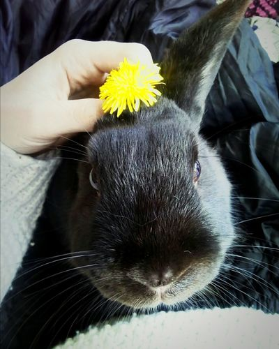 Black Rabbit One Animal Animal Themes Close-up Pets Flower Day Outdoors Bunny Ears  Bunny 🐰 Bunnystagram Bunnylover Photographic Memory EyeEm Best Shots Eyeem Animal Best Shots EyeEmAnimalLover Rabbit Portrait Bunnygirl Animal Photography Animals Posing Sunny Day 🌞 Cute Pets Cuteanimals