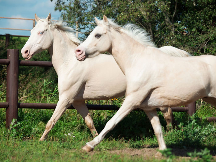 running cremello ponies Animal Themes Day Domestic Animals Field Grass Horse Livestock Mammal Nature No People Outdoors Togetherness Two Animals White Color
