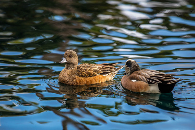 Animal Themes Animal Wildlife Animals In The Wild Bird Couple Lake Nature No People Oroszphotography Outdoors Water