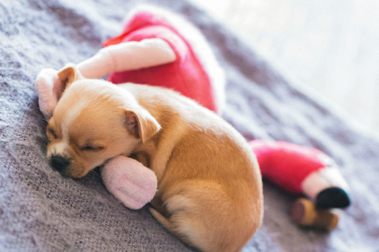 Close-up of puppy sleeping with toy