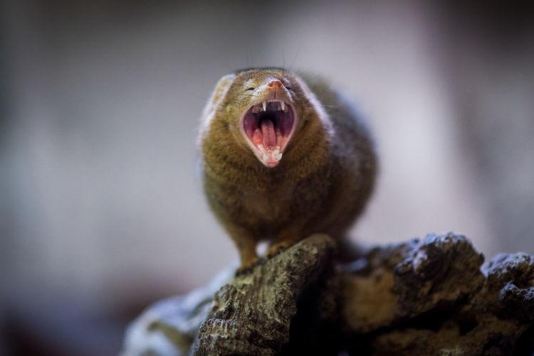 Close Up Of Dwarf Mongoose