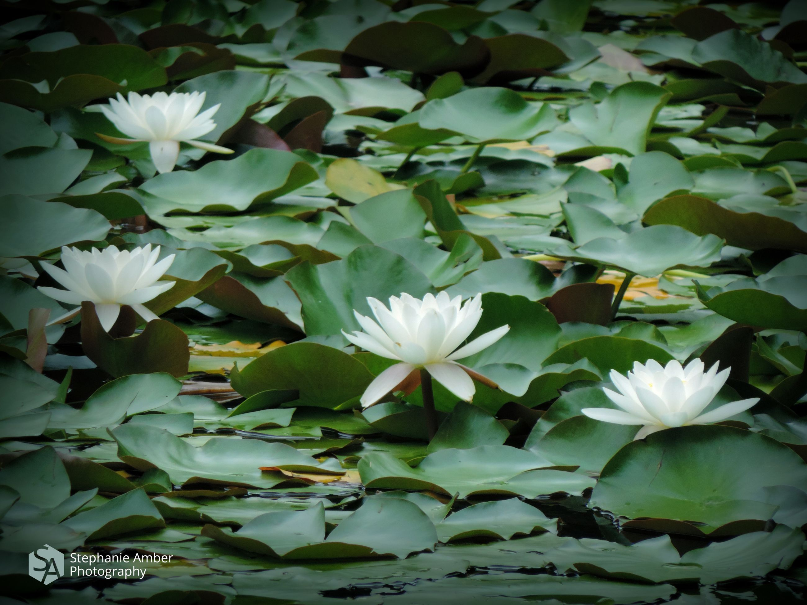 flower, flowering plant, beauty in nature, plant, freshness, vulnerability, fragility, petal, leaf, nature, plant part, growth, white color, close-up, inflorescence, flower head, day, no people, lake, water lily, outdoors, floating on water