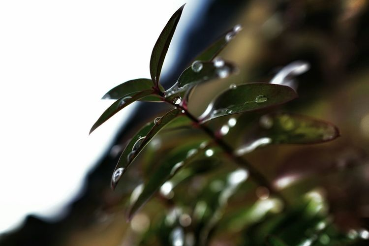 Close-Up Of Dew Drops On Plant Leaves