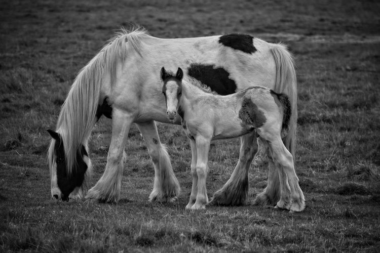 Mammal Animal Themes Field Domestic Animals Grass No People Outdoors Day Nature Ponies Equine Photography Animal Wildlife Animals In The Wild Black And White Field Horse Photography  Horse Photography  Mother And Child Horse Photography  Horse Pony Monochrome Horse Photography  Equine New Born