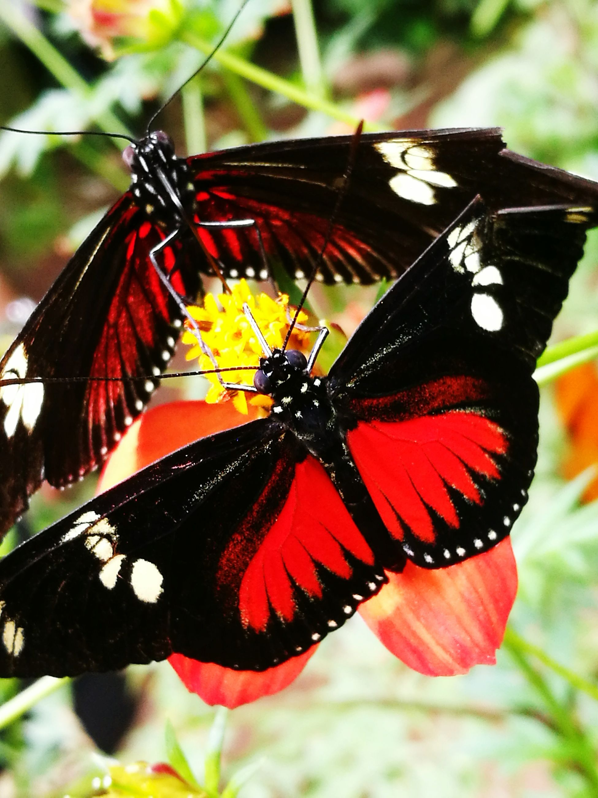 butterfly - insect, insect, animal themes, one animal, animals in the wild, close-up, fragility, butterfly, plant, wildlife, nature, beauty in nature, animal wildlife, red, flower, animal markings, outdoors, day, no people, pollination, freshness