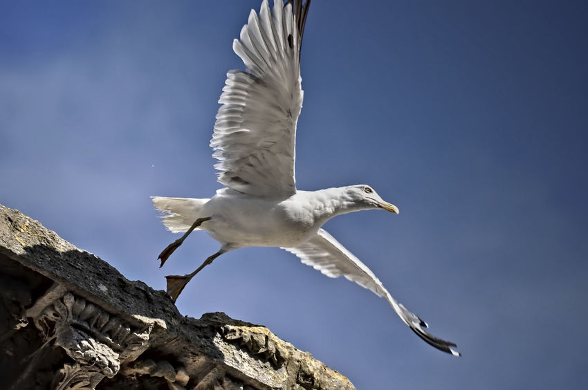 seagull Animal Themes Bird Blue Sky Flying Nature No People One Animal Seagull Side View Spread Wings Summer Wildlife Zoology Architecture Roman History Pula Croatia Daylight Nikon Summer Sky