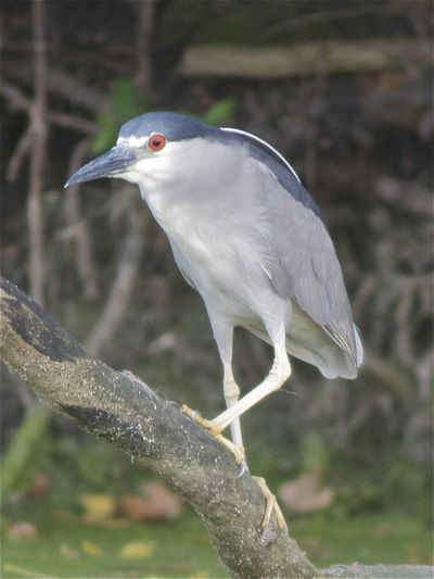Black-crowned Night-Heron Illinois Nycticorax Nycticorax Obscurus Skokie Lagoons Animal Animal Themes Animal Wildlife Animals In The Wild Beak Bird Close-up Focus On Foreground Heron Land Nature No People Nycticorax Nycticorax One Animal Ornithology  Outdoors Perching Plant Side View Tree Vertebrate