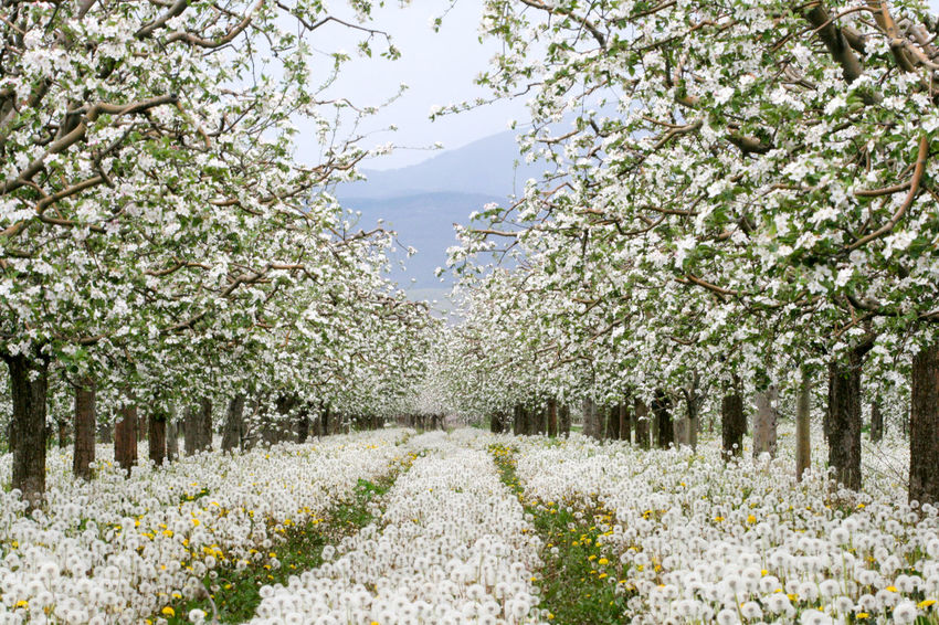 apple orchard in spring Apple Blossom Apple Orchard Apple Tree Blossom Dandelion Spring Flowers Springtime