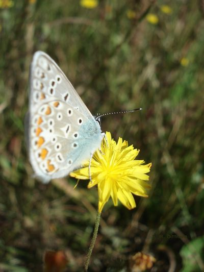 Himmelblauer Bläuling Schmetterling Animal Wildlife Beauty In Nature Butterfly Butterfly - Insect Flower Flower Head Flowering Plant Insect Nature No People One Animal Outdoors