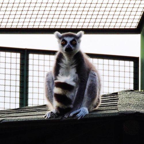 Zoo Safari Park Zoophotography Safari Lemore