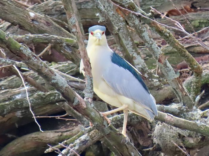 Black capped night heron facing camera perched atop a bare wooden tree branch birdwatching Birds of EyeEm beauty in nature animal themes outdoors Animal Wildlife Bird One Animal No People