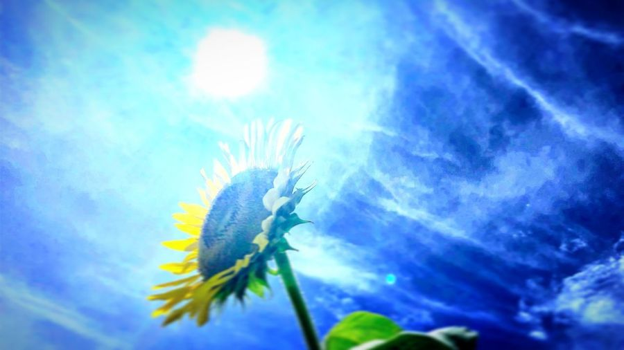 思い出 感動 楽しい 太陽 きれいな空 夏 ひまわり Beauty In Nature Blue No People First Eyeem Photo