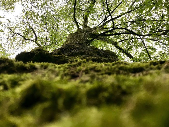 Nur die eigene Perspektive zählt Tree Plant Growth Day Selective Focus Low Angle View Land Nature Beauty In Nature Branch Trunk Tree Trunk Outdoors Green Color Tranquility Moss Scenics - Nature Forest No People Focus On Background