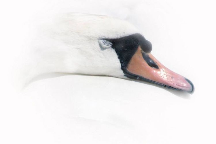 Sweet Dreams of a Swan - Bird Nature Beak No People Animal Head  Animal Themes White Color Beauty In Nature